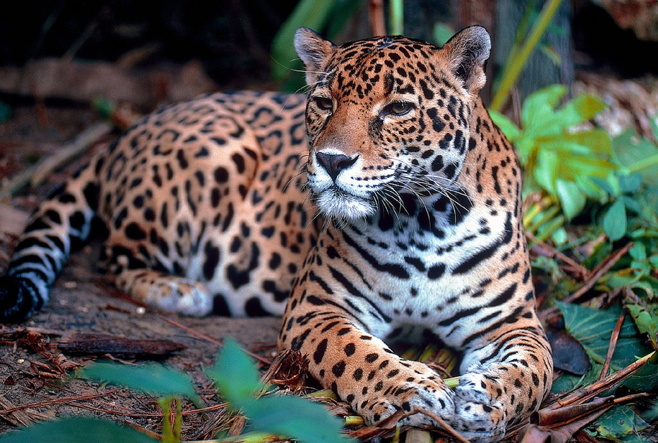 A Jaguar Resting Under a Tree